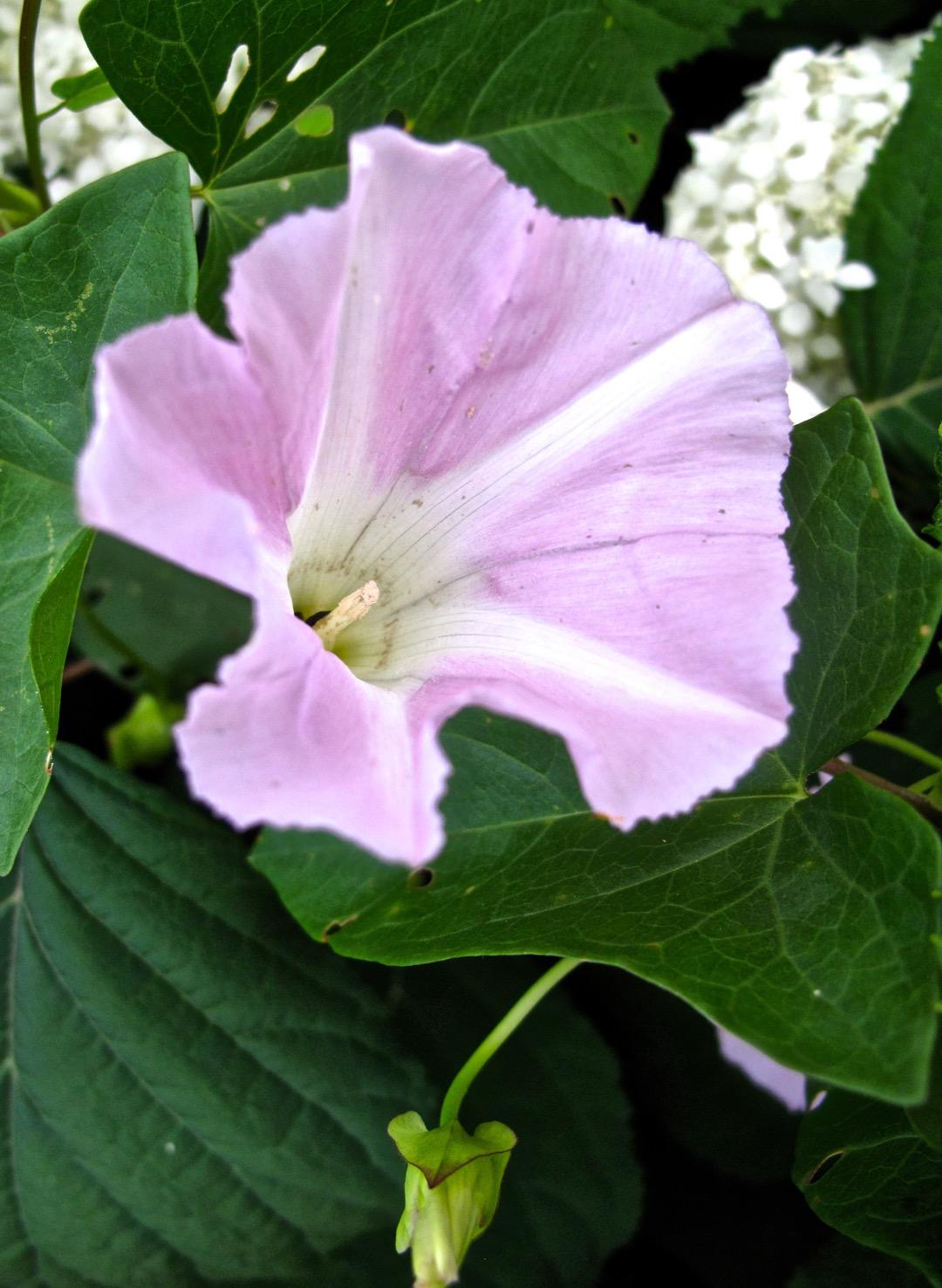 Fleur-Ipomée-LC
