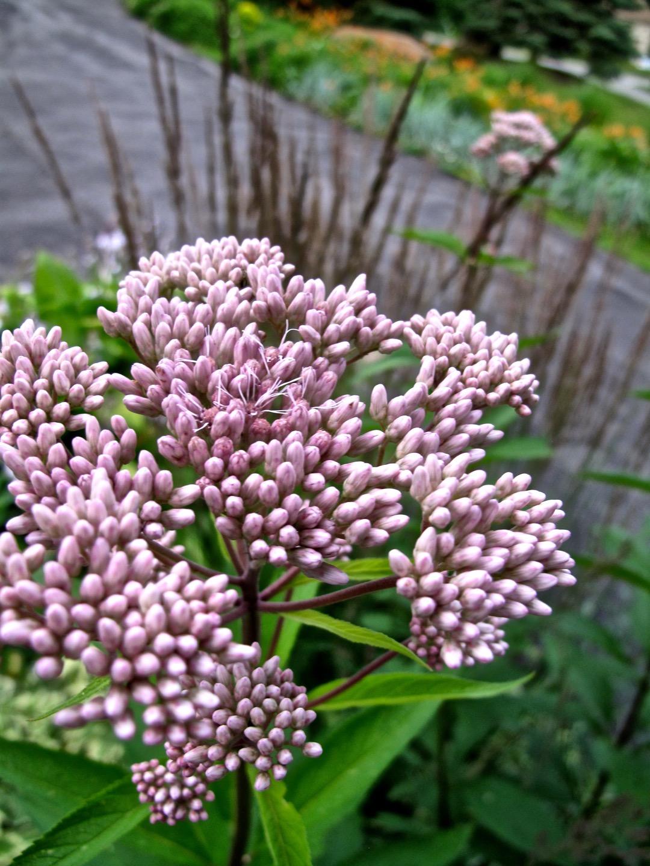 Fleur-Eupatoire-LC-2
